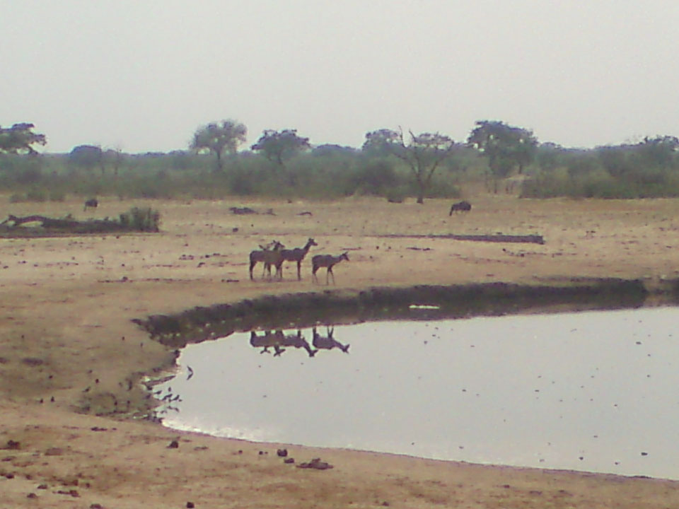 Animals Coming to Drink.